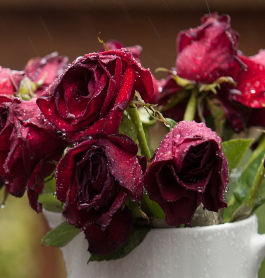 Once vibrant red and perky, the Valentine Roses age gracefully in their queenly red velvet capes and dripping with jewels.