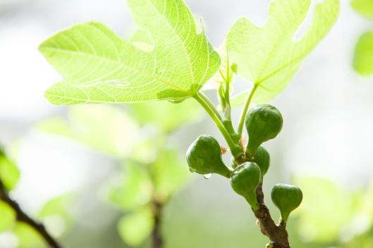Fig Tree 2013-1-5