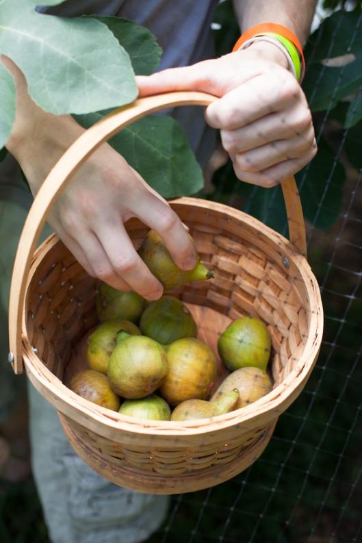 Figs 2013-12