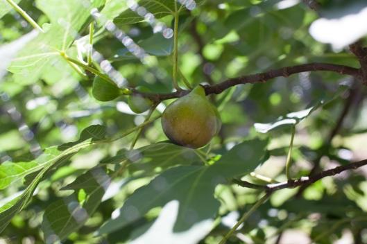 Figs 2013-2