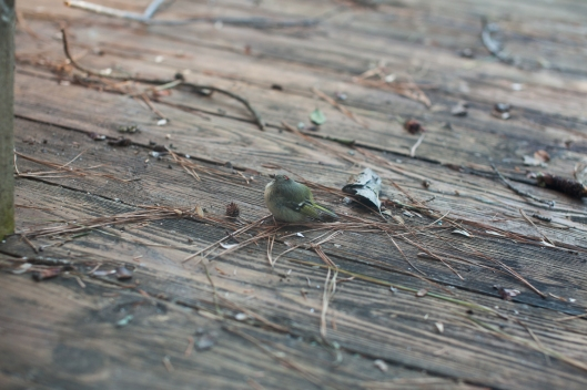 The tiny bird sat stunned on the deck.