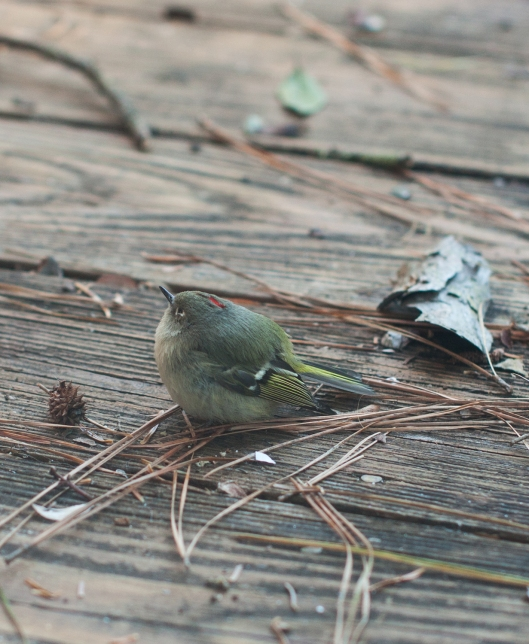 2 Ruby crowned Kinglet