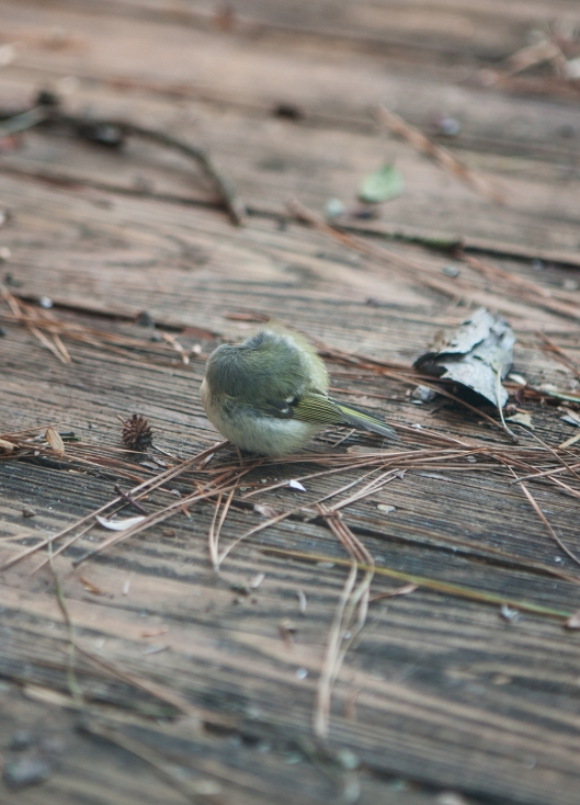 The Ruby-crowned Kinglet fluffed up his feathers and curled into a little ball.