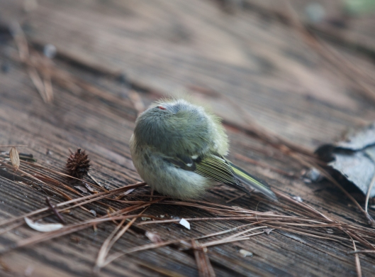 The tiny Kinglet shuddered so hard I feared he was dying.
