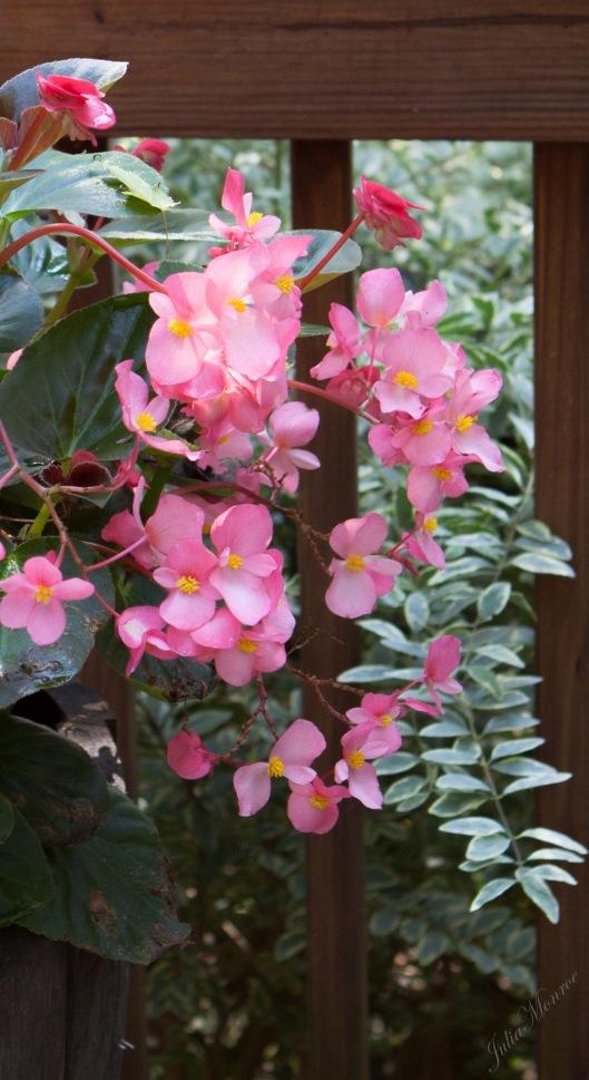 Pink Dragonwing Begonia