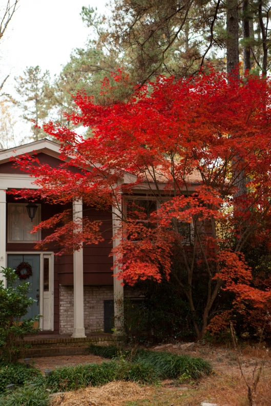 The Japanese Maple was spectacular this year.