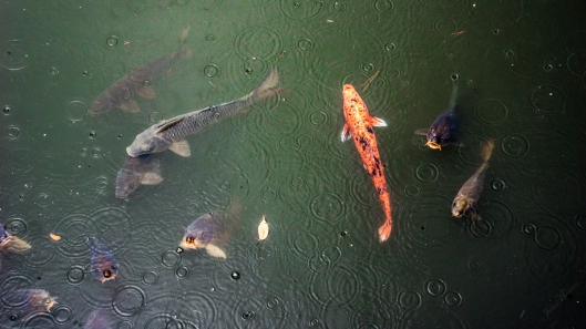 It was a rainy day in Kyoto, Japan at Nijo Castle. We enjoyed watching the koi in the ponds.