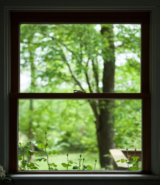 New Dawn rose buds peek in the kitchen window.