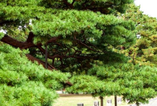 1 Japan tree Kyoto