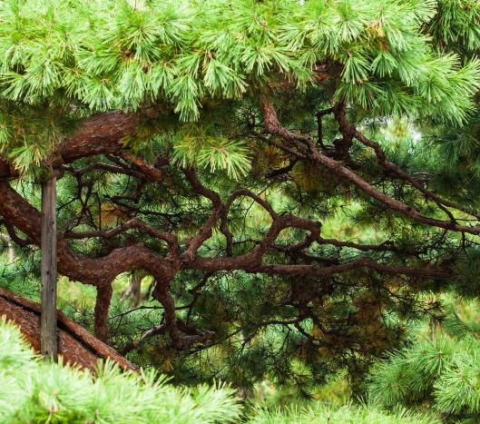 2 Japan tree Kyoto