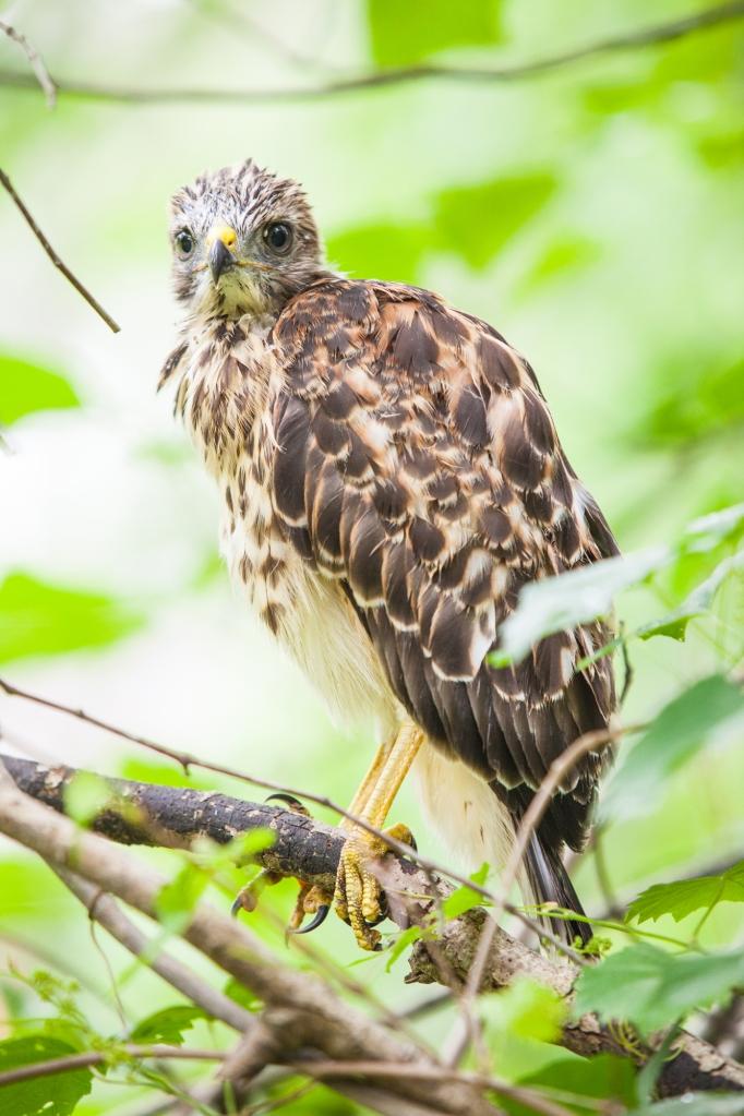 11-baby-hawks-2014