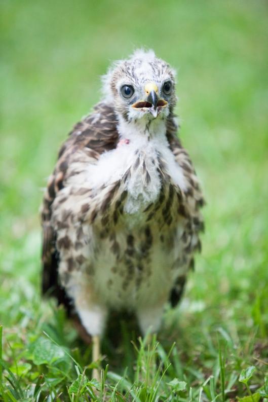 1c-baby-hawks-2014