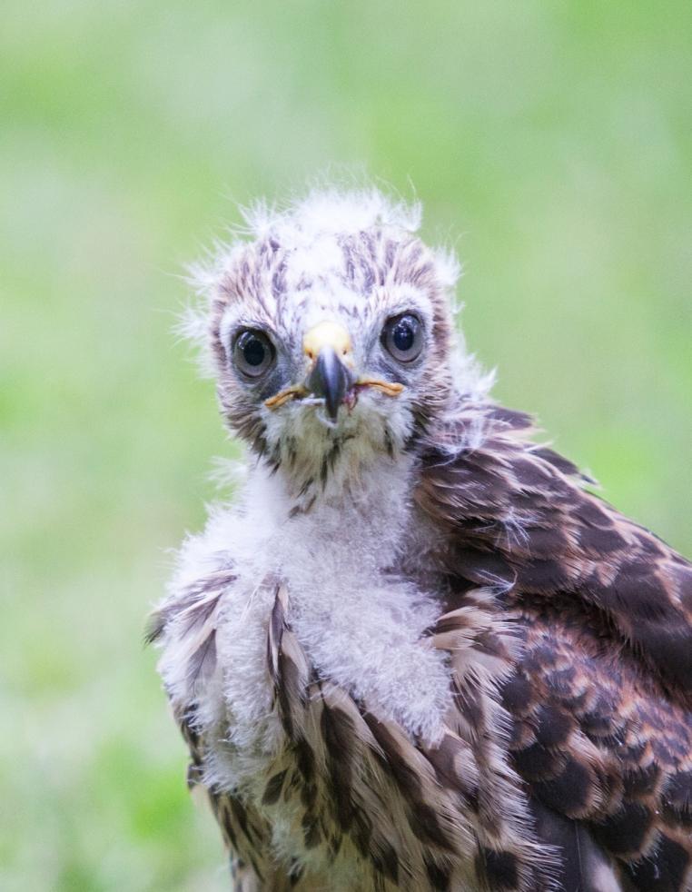 1d-baby-hawks-2014