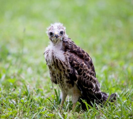 1e-baby-hawks-2014