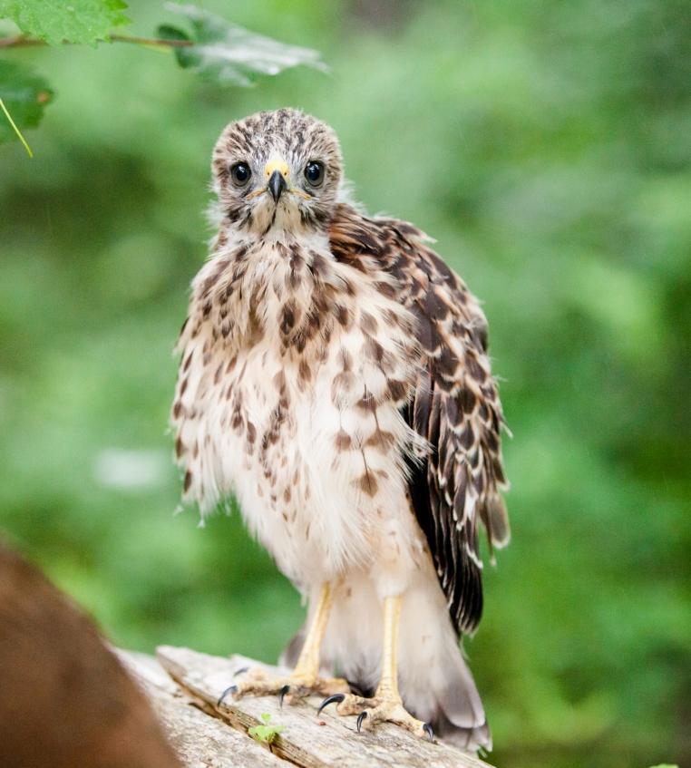 2-baby-hawks-2014