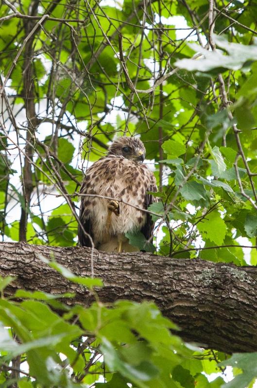 5-baby-hawks-2014