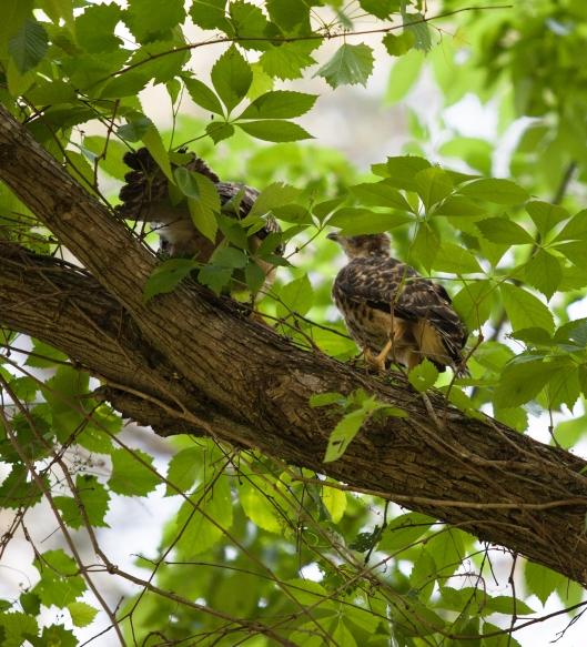 9a-baby-hawks-2014
