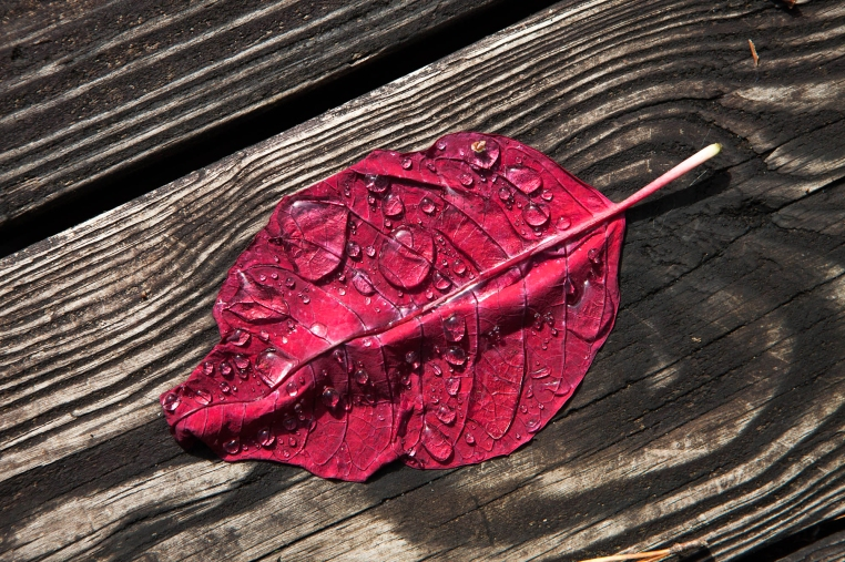 The poinsettia leaf had fallen but it was still good for something. It held rain.
