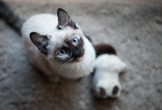12-our-siamese-kitten-and-her-siamese-kitten-stuffie
